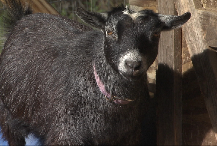 4-H'er helps grow goat category at livestock show
