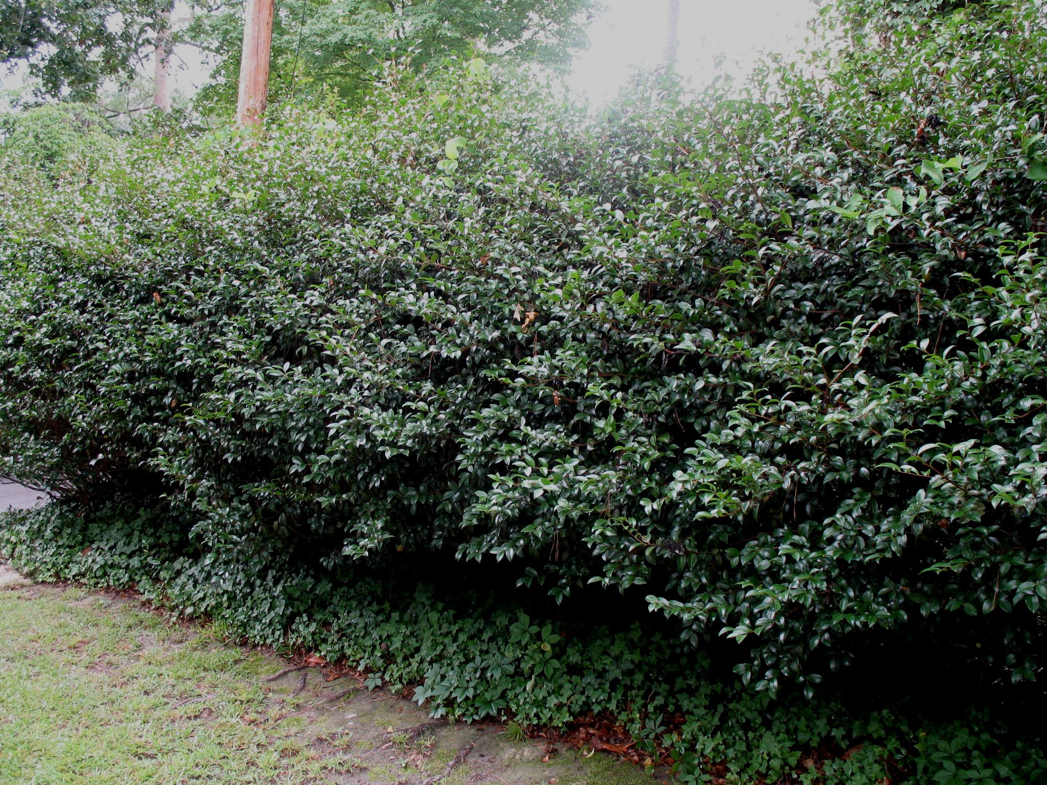 Now is a good time to plant hedges