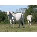 Decade-long project improves characteristics of Brahman cattle
