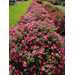 Drift roses offer smaller plants, great blooms