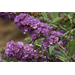 Blue Chip buddleia blooms throughout summer