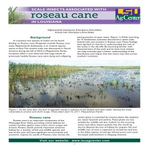 Scale Insects Associated with Roseau Cane in Louisiana