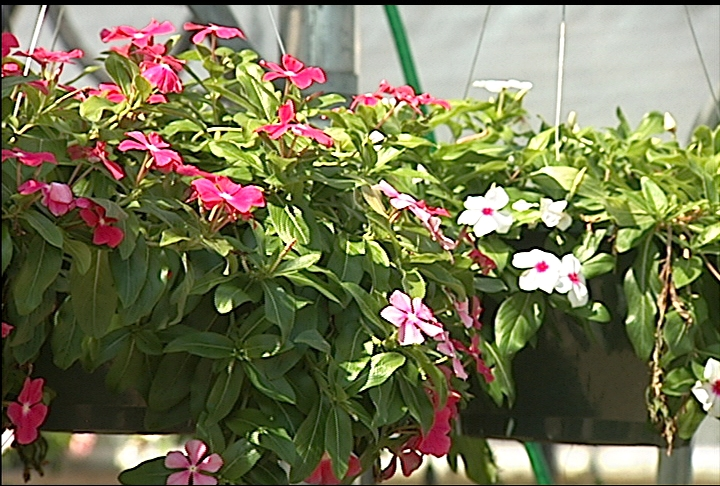 Hanging baskets lift up flowers