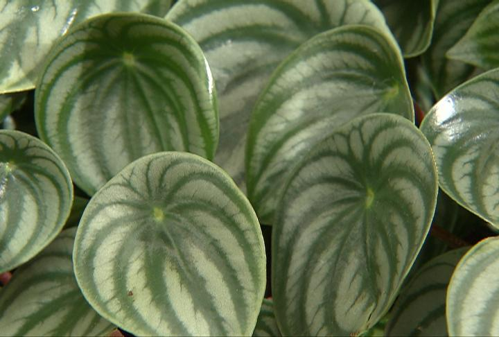 Peperomia plants make a comeback