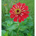 Plant zinnias now for fall color