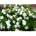 Frostproof Gardenia – Ornamental Plant of the Week for May 4, 2015