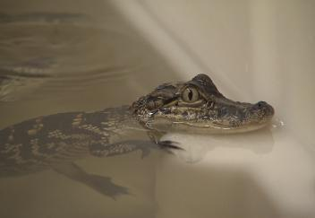 AgCenter opens alligator research facility