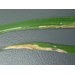 Rice Leaf Miner Pupa 2