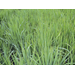 New Options for Managing Weeds in Clearfield Rice