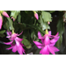Christmas cactus adds beauty for holidays and beyond