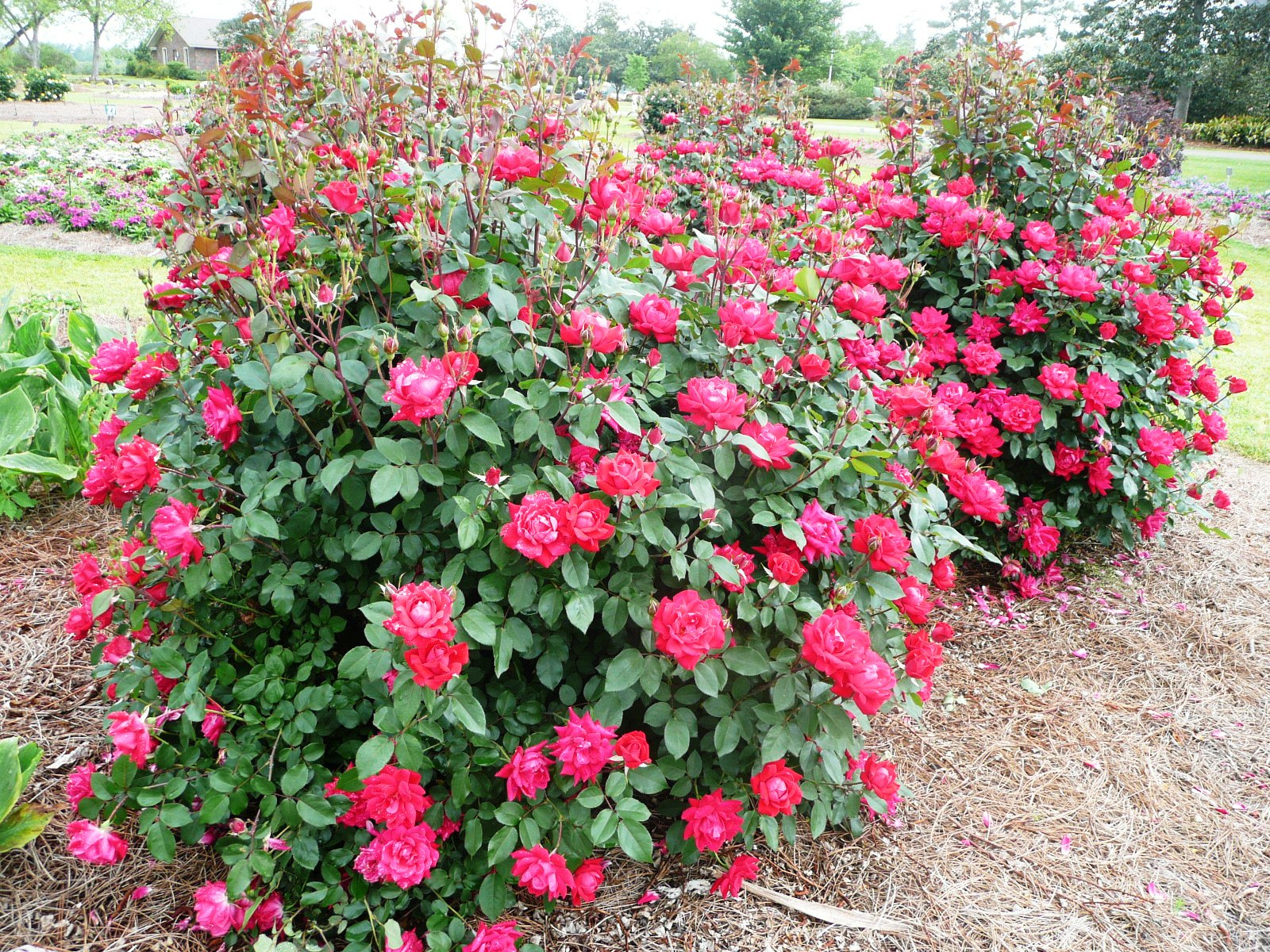 Knock Out Roses Can Be Pruned Too