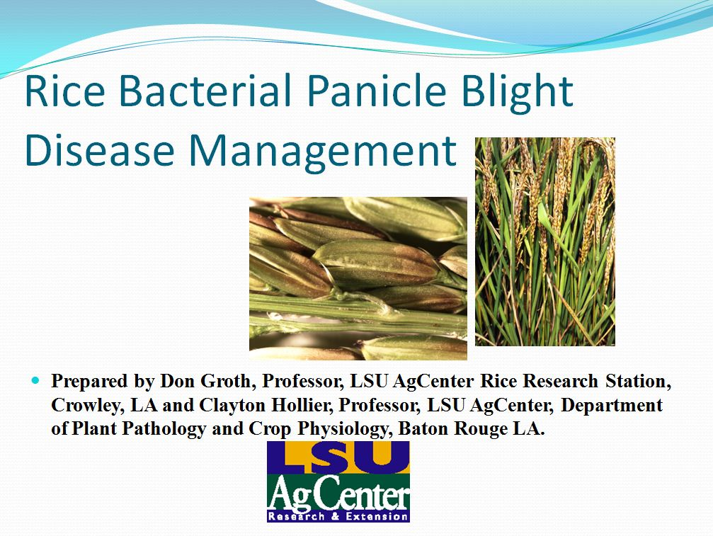 Rice Bacterial Panicle Blight Management 2013