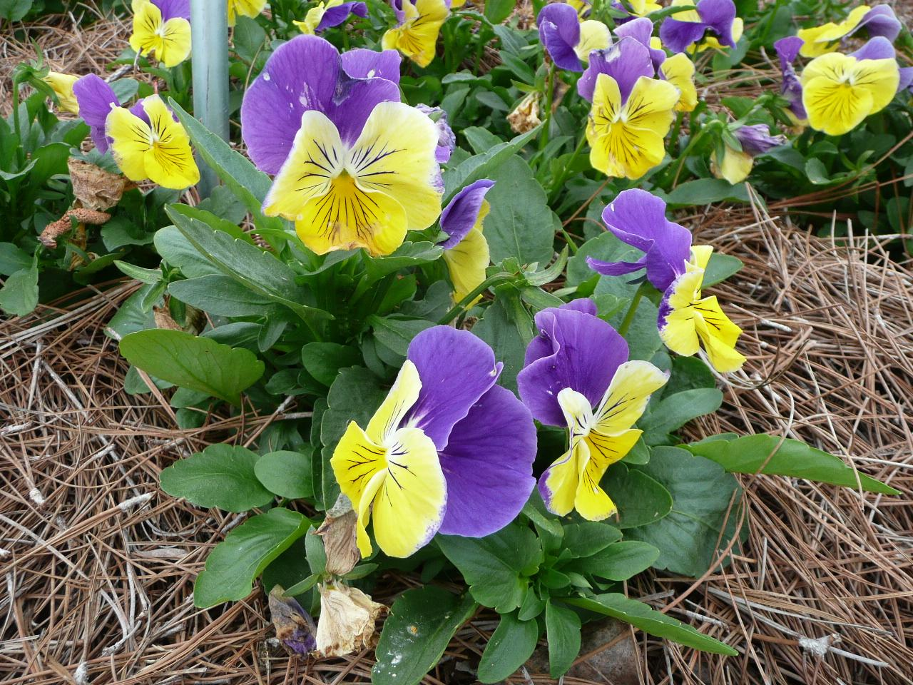 Pansy Plant of Week December 7 2015.jpg thumbnail