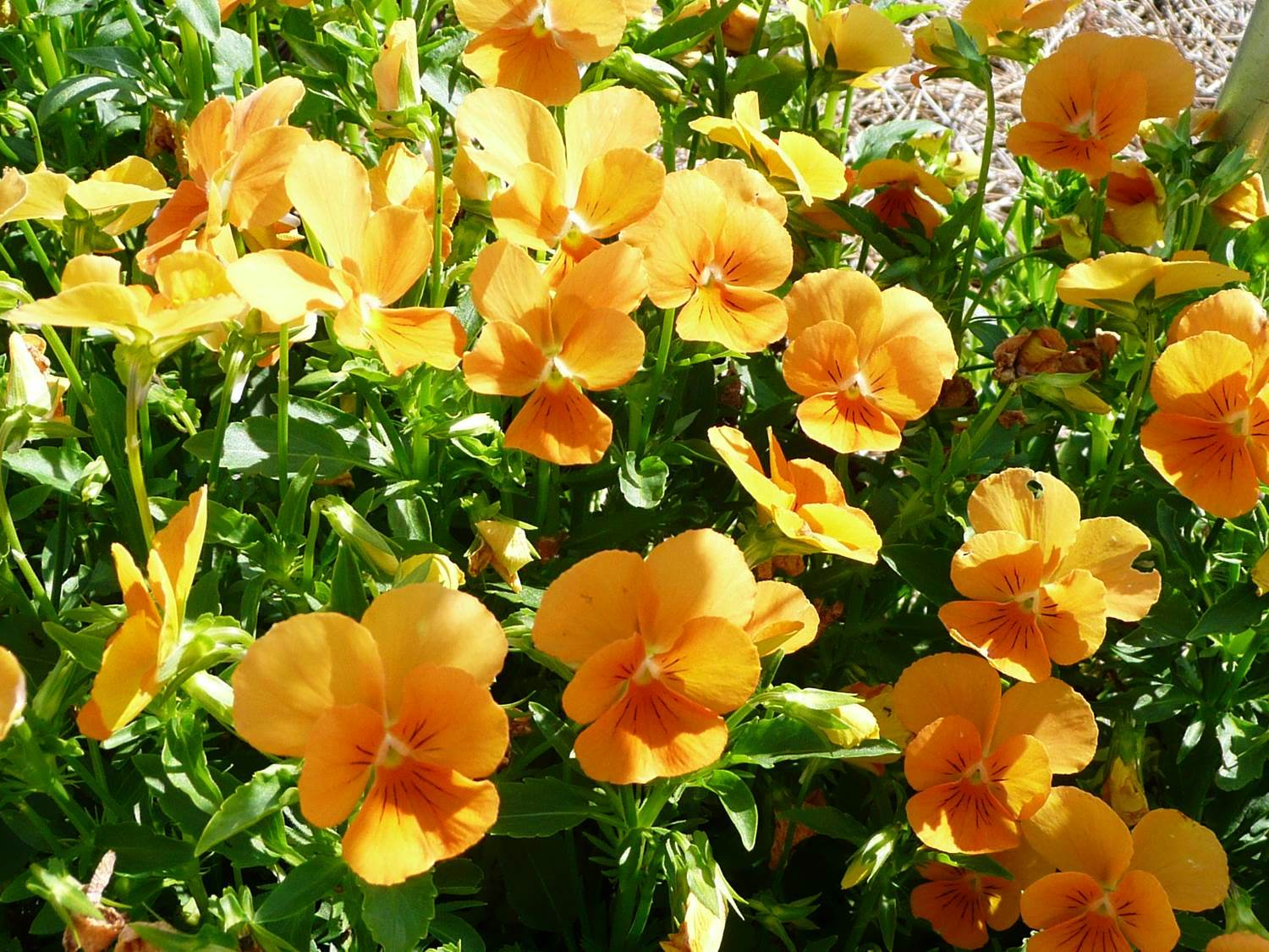 Pansies violas make ideal winter flower gardens sorbet orange violag thumbnail izmirmasajfo