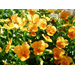 Pansies, violas make ideal winter flower gardens