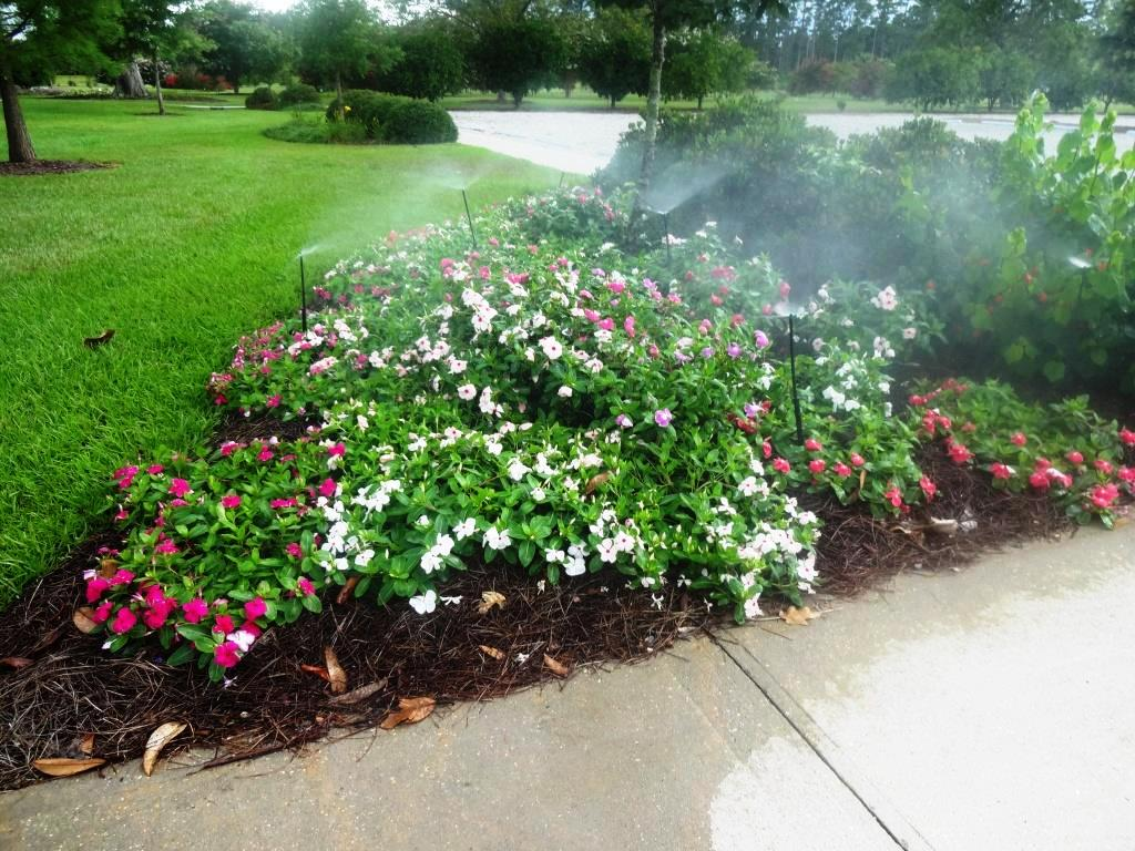 Take care with vincas to avoid problems excessive irrigation and rainfall can present problems with vinca performance in the landscapeg thumbnail izmirmasajfo