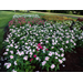 Take care with vincas to avoid problems
