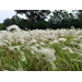 Workshops announced on fighting cogongrass in Florida Parishes