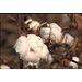 Dry weather slows cotton planting