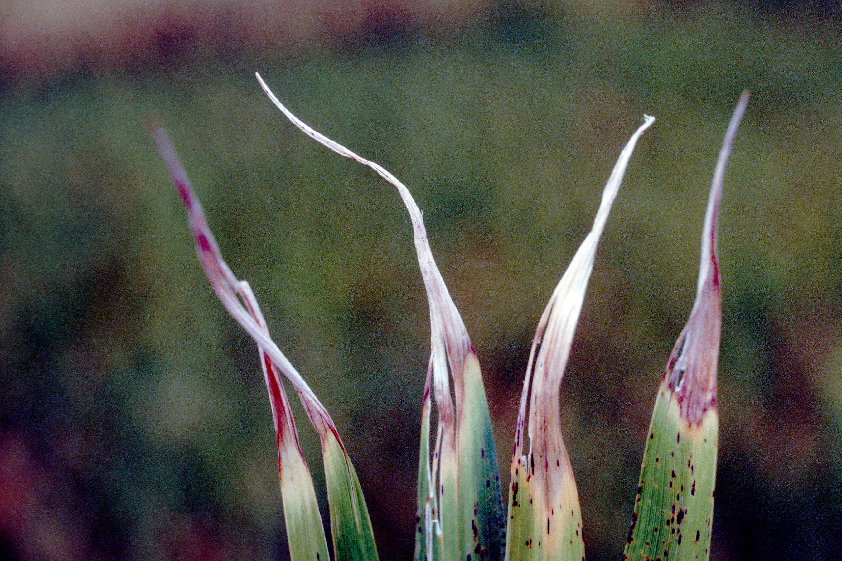 Later Symptoms Caused By the White Tip Nematode