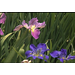 Great time to plant Louisiana Irises
