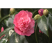 Camelia blooms provide diverse color