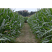 Corn maze set for October Saturdays at Botanic Gardens at Burden