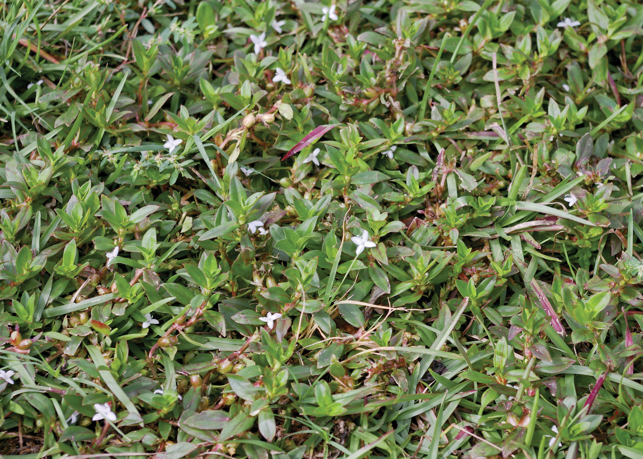 Virginia Buttonweed: No. 1 Weed Problem of Southern Lawns