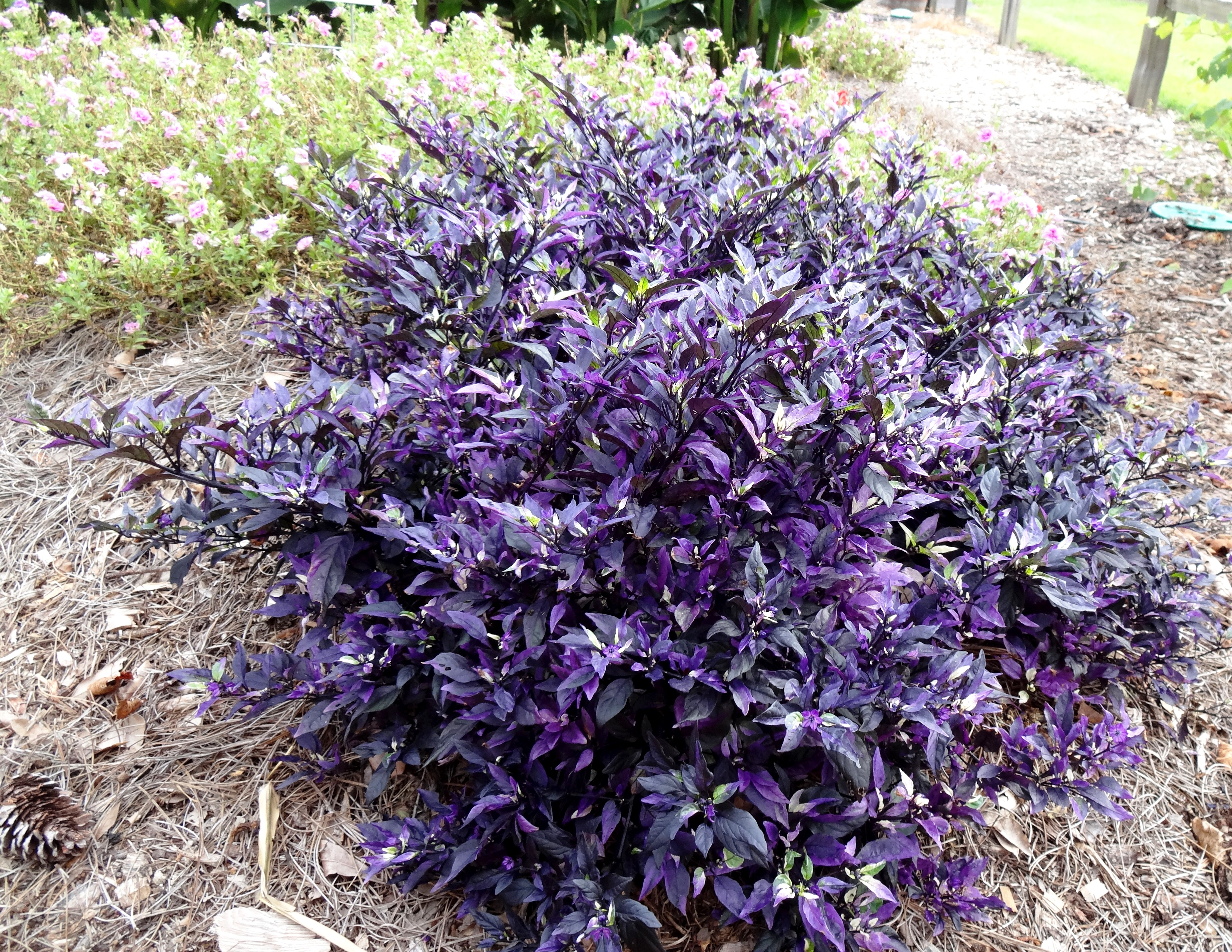 Ornamental peppers add color to fall landscapes
