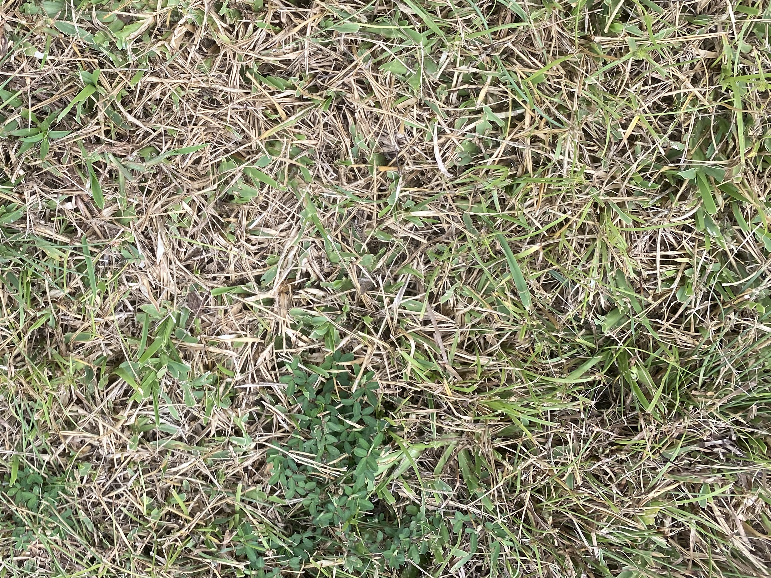 Sod webworm damage appears as yellowing to brown patches in the lawn.png thumbnail