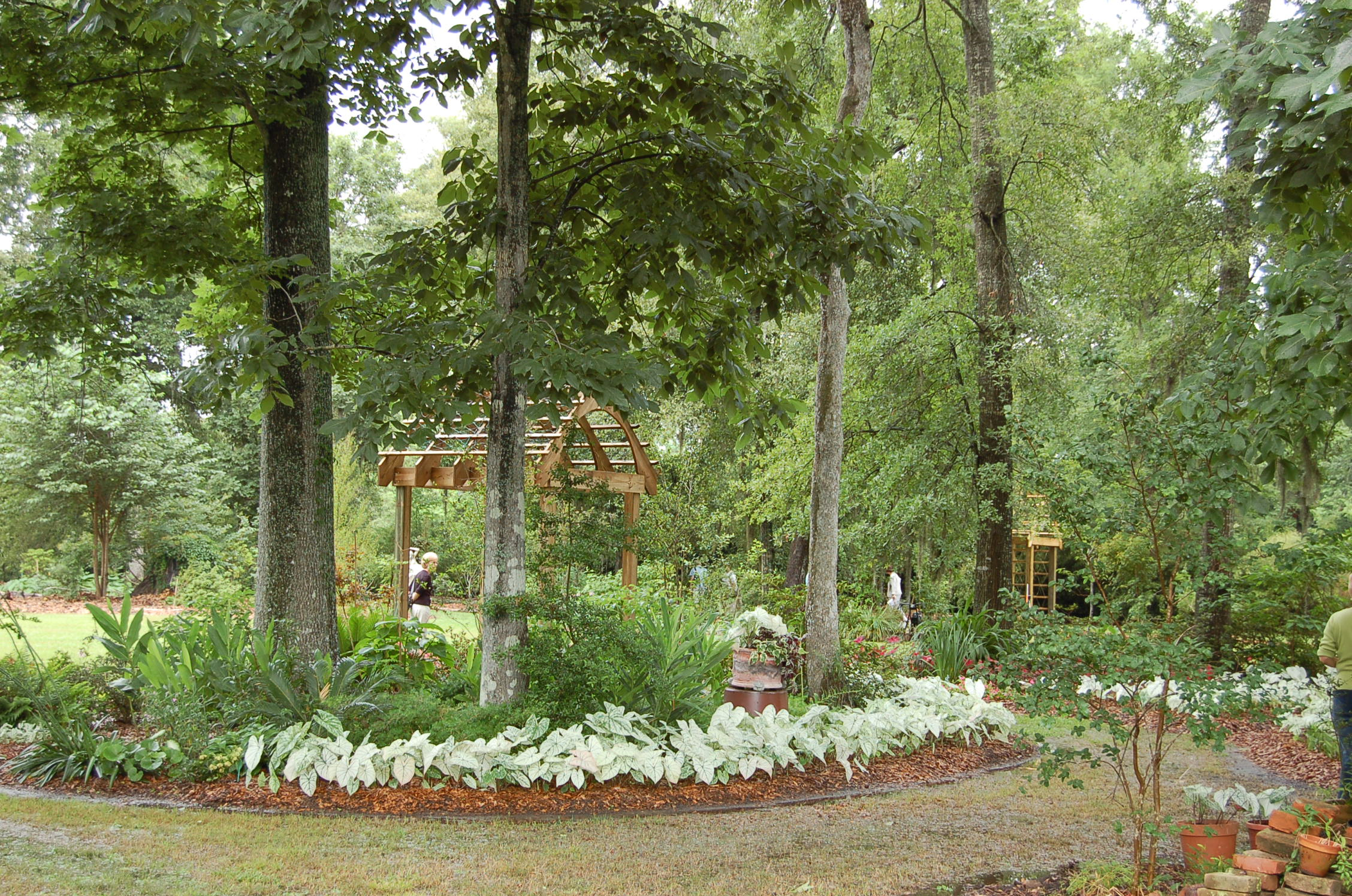 Raised bed with white caladiums - plants are up above standing water.JPG thumbnail