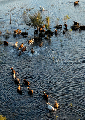 cattle in water