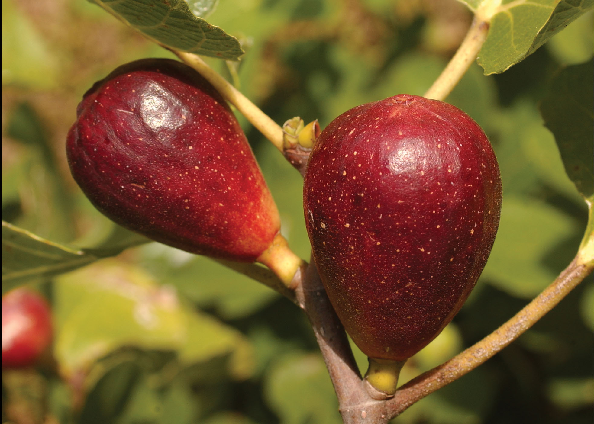 Figs are one of the most interesting fruits you can grow