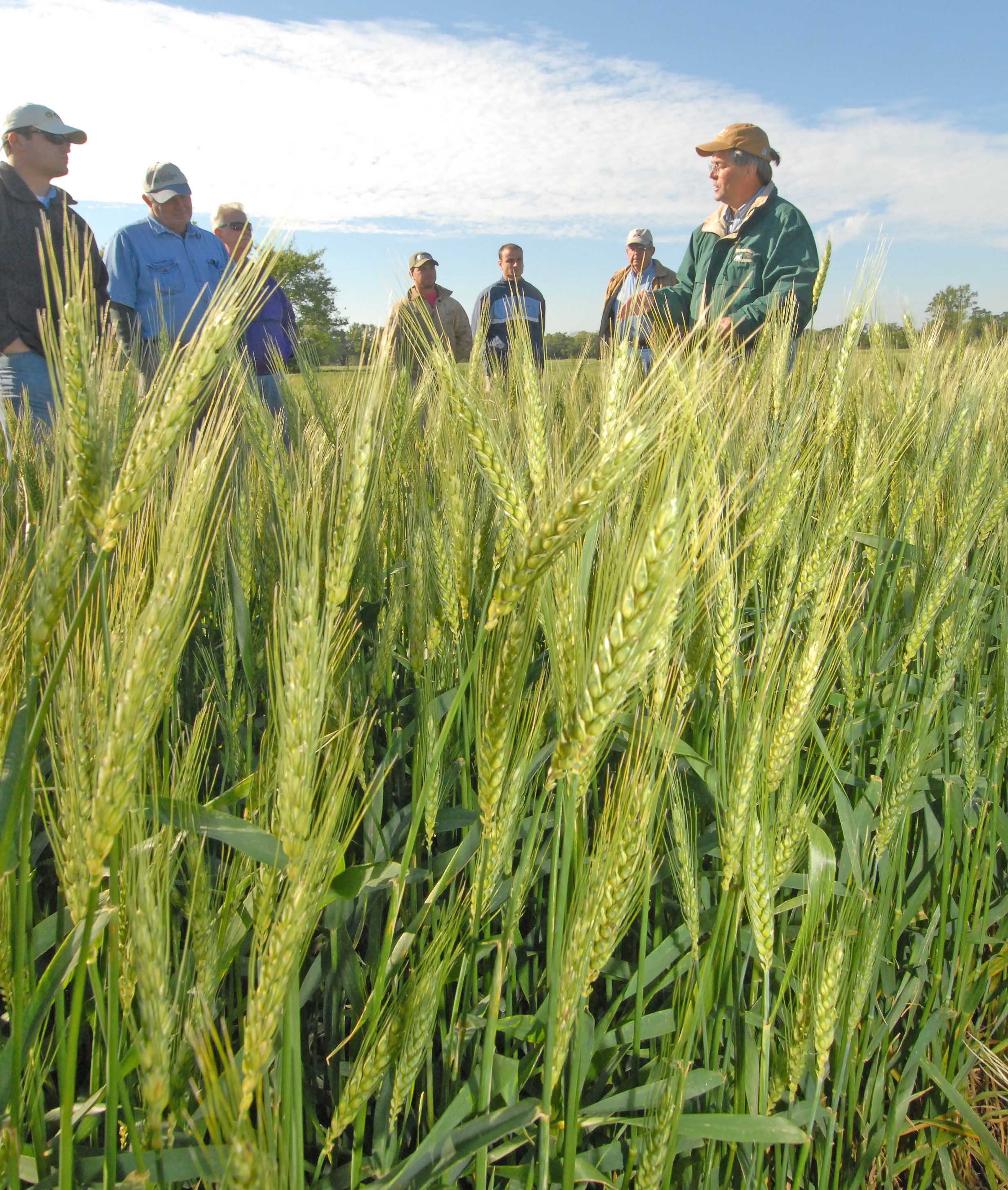 Sugarcane farmers weigh wheat as rotation crop to control weeds, slow erosion