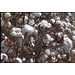 Cotton acreage predicted to be lower