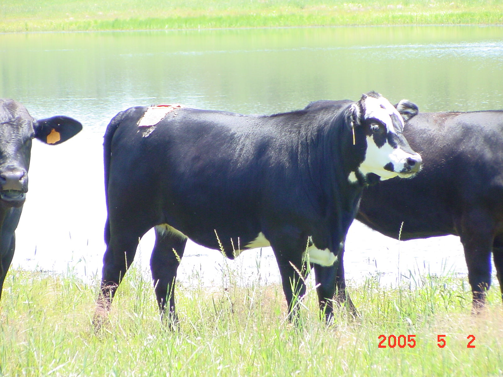 New Electronic Heat Detection for Beef Cattle