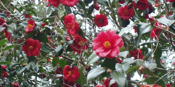 Camellia Garden Stroll scheduled for Feb. 19 in Hammond