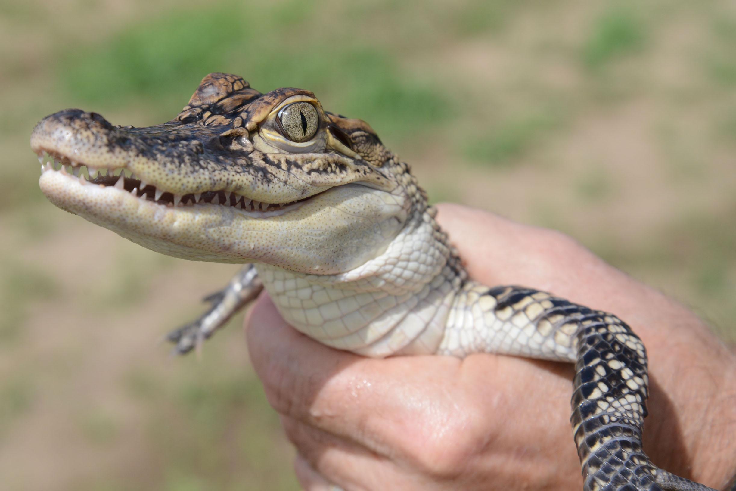 Dietary Needs of Farm-Raised Alligators