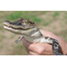 Dietary Needs of Farm-Raised Alligators
