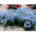 Try some new, cool-season flowers in your landscape