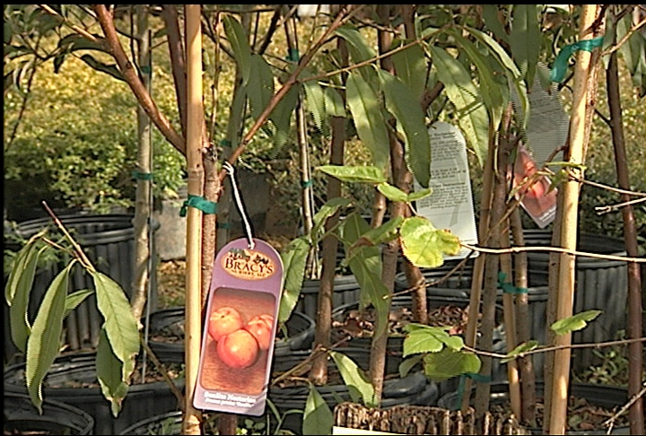 Fall is good season to plant fruit trees