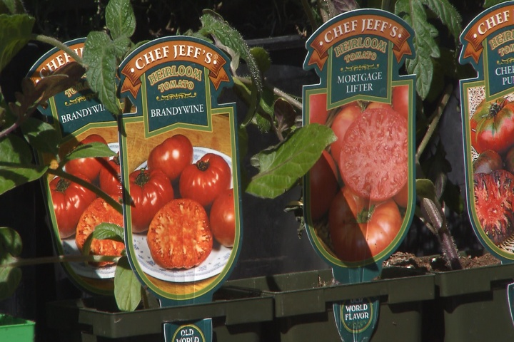 Buying the best tomato for your garden
