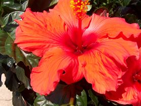 Picture of a hibiscus plant bloom