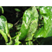 Managing Citrus Leaf-Miners