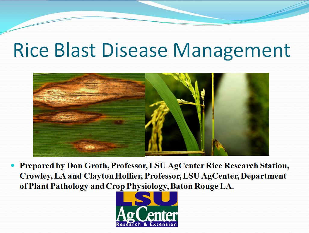 Rice Blast Disease Management 2013
