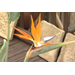 Bird of Paradise is attractive and tough tropical