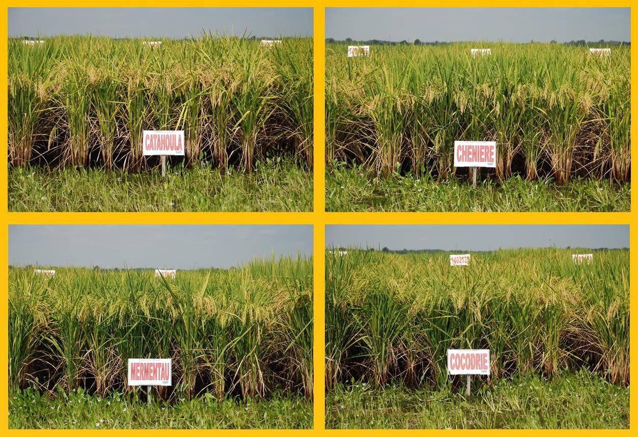 Rice Varieties for Louisiana for 2015