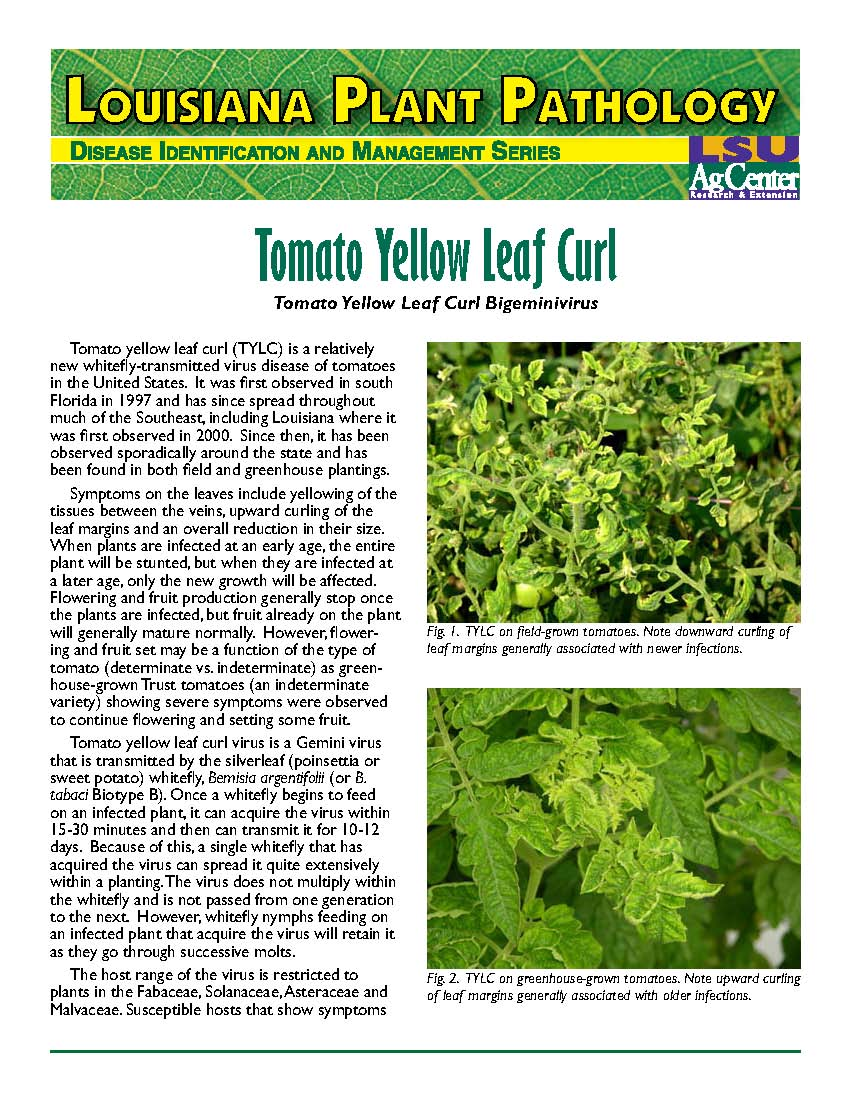 Louisiana Plant Pathology:  Tomato Yellow Leaf Curl