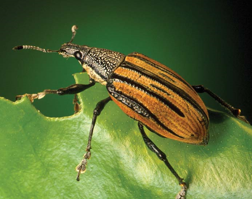 Photo of a root weevil