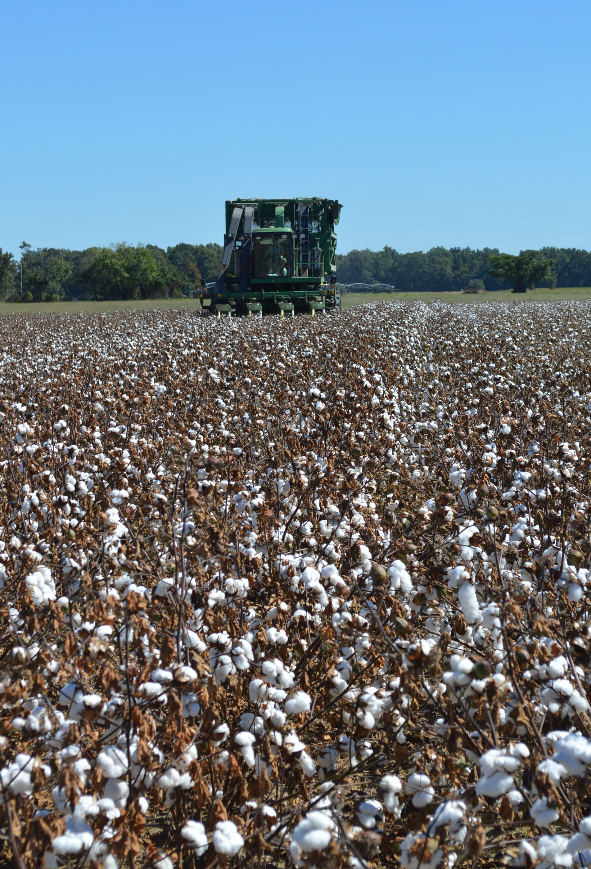 Cotton yields could reach record